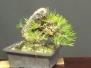 Japanese Black Pine #1