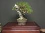 Japanese Black Pine #2