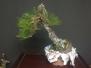 Japanese Black Pine #3