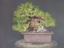 Japanese Black Pine 4