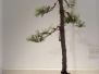 Japanese Black Pine on slab