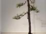 Japanese Black Pine on slab