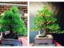 Japanese Black Pine 1