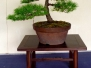 Japanese White Pine 2