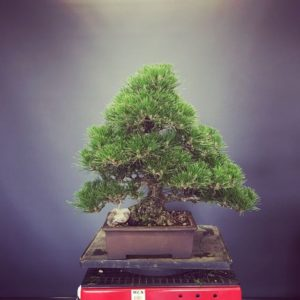 Japanese Black Pine Decandled