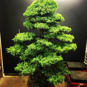 Needle Juniper Summer Maintenance Progress