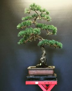 Japanese White Pine March 2018