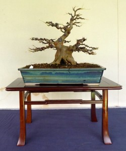 Trident Maple After